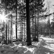 Winter in forest in black and white — Stock Photo #65885815