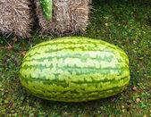 Large watermelon — Stock Photo