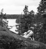 Landscape in black and white with Labradors — Stock Photo