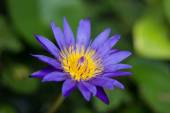 Violet blossom lotus in fishbowl — Stock Photo