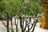 Adenium obesum (Desert Rose or Impala Lily or Mock Azalea) in garden — Stock Photo