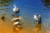 Three pelikans bird — Foto Stock