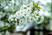 Spring blossoming branch — Stock Photo