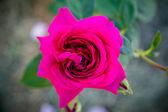 Pink rose on green garden — Stock Photo