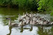 Domestic gooses swimming in water — Stock Photo