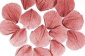 Pétalas de rosa vermelhas isoladas — Fotografia Stock