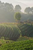 Strawberries farm in Chiangmai, Thailand — 图库照片