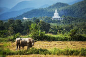 White buddha statue and havested field rice ,Thailand — Stock Photo
