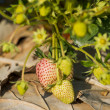 Young strawberry plant in the morning ,Thailand — Stock Photo #64652395