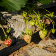 Young strawberry plant in the morning ,Thailand — Stock Photo #64652541