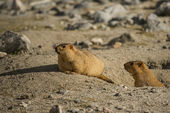 Himalayan Marmot at Pangong Lake Ladakh .India - September 2014 — Stock Photo
