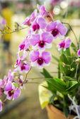 Albero bello fiore dell'orchidea viola — Foto Stock