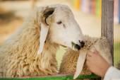 Kid feeding sheep in the farm ,Thailand — Stock Photo
