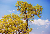 Close up yellow tree with blue sky. — Stock Photo
