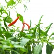 Red hot chili pepper on tree isolated on white background. — Stock Photo #66032401