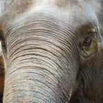 Close up Asian elephant head ,Thailand — Stock Photo #75174899