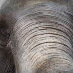 Close up Asian elephant head ,Thailand — Stock Photo #75174623