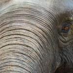 Close up Asian elephant head ,Thailand — Stock Photo #75174829