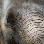 Close up Asian elephant head ,Thailand — Stock Photo #75174967