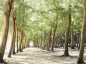 Lesie sosnowym na plaży — Zdjęcie stockowe
