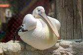 Pelican. — Stock Photo