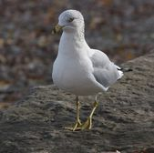 The funny curious ring-billed gull — Foto de Stock