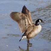 Strong beautiful goose — Stock Photo