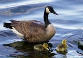 The mother goose with two children — Stock Photo
