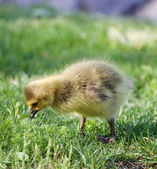 Young goose is searching something — Stock Photo