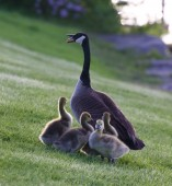 Mother-goose protects her children from the dog — Stock Photo