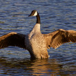 Very beautiful Canada goose spreads his wings — Stock Photo #78227562