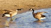 Funny expressive talk between two Canada geese — Stock Photo