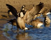Beautiful Canada goose shows his strong wings — Stock Photo