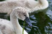 Beautiful young swan is eating the algae — Stock Photo