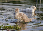 The young swan's powerful movements — Stock Photo