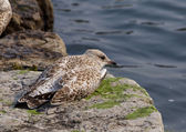 The gull is sleeping on the rock shore — Stock Photo
