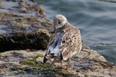 The gull is cleaning her feathers — Stock Photo