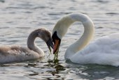 The mother-swan and her son. The shape of the heart — Stock Photo