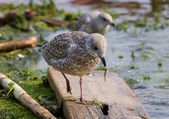 The lesser black-backed gull is going somewhere — Stock Photo