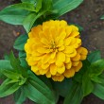 Beautiful bright flowers tsiniya — Stock Photo #76041097