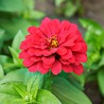 Beautiful bright flowers tsiniya — Stock Photo #76049585