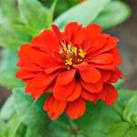 Beautiful bright flowers tsiniya — Stock Photo #76055957