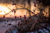 Rose-hip in the flood of winter sunset — Stock Photo