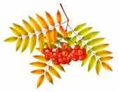 Autumn rowan branch — Stock Vector