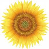 Flower of sunflower, isolated on white — Stock Vector