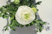 White Ranunculus flower — Stock Photo