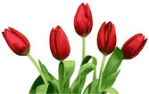 Red tulips vector isolated on white background — Stock Photo