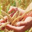 Male hand holding a golden wheat ear in the wheat field — Stock Photo #77481682