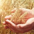 Male hand holding a golden wheat ear in the wheat field — Stock Photo #77481738