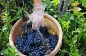 Harvest in October Oltrepo Pavese — Stock Photo